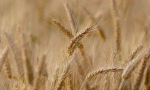Amparo aceptado por el trigo transgénico